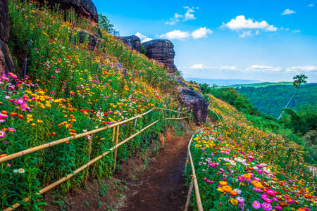 Straw flowers garden and pathway on the mountain, tourist attraction at Phu Hin Rong Kla National Park, Thailand Stockfoto