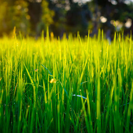 Closeup rice field growing in the farm before sunset with  shallow depth of field, green nature background