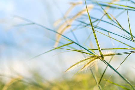 Closeup grass flower blooming in the field with copy space, abstract nature background Stockfoto - 133548830