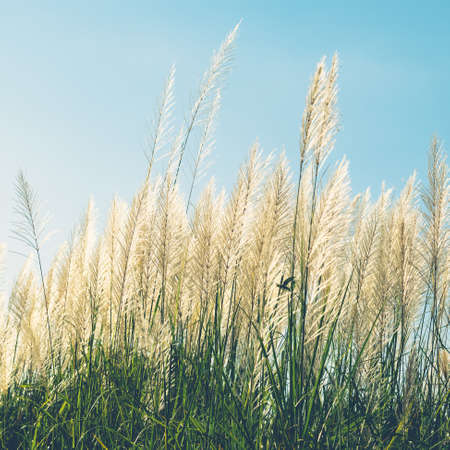 Reed field in countrysdie blooming, winter of Thailand, vintage color style