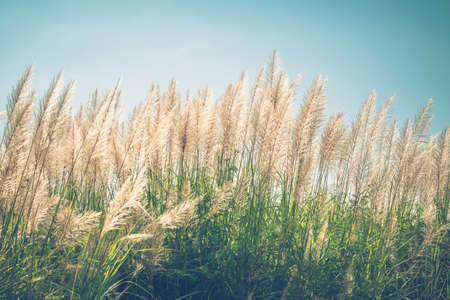Reed field in countrysdie blooming, winter of Thailand, vintage color style Stockfoto - 133548905
