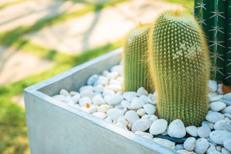 Closeup small cactus plant in concrete pot with pebbles, plant decoration along the walkway in the garden Banco de Imagens
