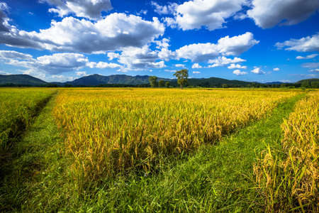 Golden rice field in harvest time, beautiful countryside at Thong Saen Khan district, Uttaradit, Thailand