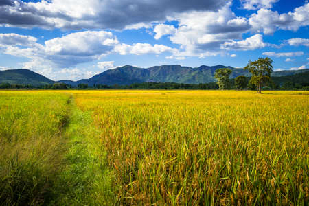 Rice field in harvest time, beautiful countryside at Thong Saen Khan district, Uttaradit, Thailand
