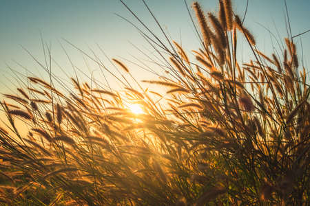 Grasses flowers blooming in direct sunset, beautiful meadow in countryside 스톡 콘텐츠