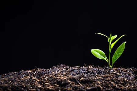 Junge Pflanze wird geboren und wächst aus Erde auf schwarzem Hintergrund mit Kopierraum, neuer Hoffnung für die Umwelt oder Metapher zum Start des Geschäftskonzepts