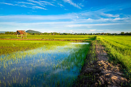 Beautiful rice field and pathway in cultivated season, evening in countryside of Thailand