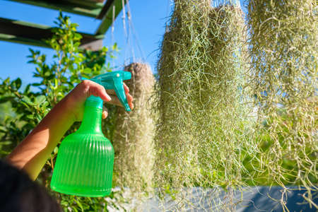 Closeup child hand watering the Spanish Moss plant in sunlight by spraying from the bottle sprayer, home gardening in the backyard, Spanish Moss is Tillandsia usneoides in science name