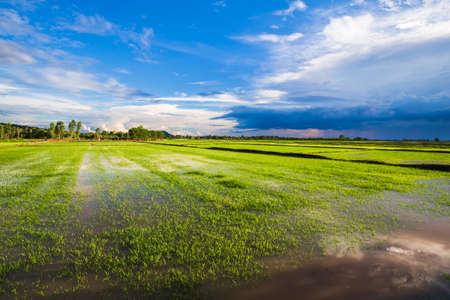 Paddy field in cultivated season full of water after the rain, rainy season in countryside of Thailand
