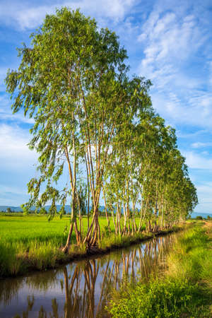 Row of eucalyptus trees planted between the rice field and the creek, countryside of Thailand