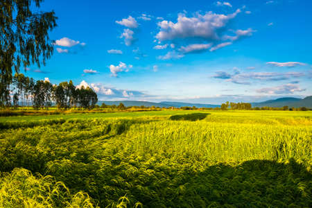 Beautiful paddy field in harvest season brighten in sunset light, countryside of Phitsanulok, Thailand 版權商用圖片