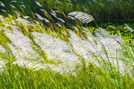 Closeup white reed blowing in the wind in countryside