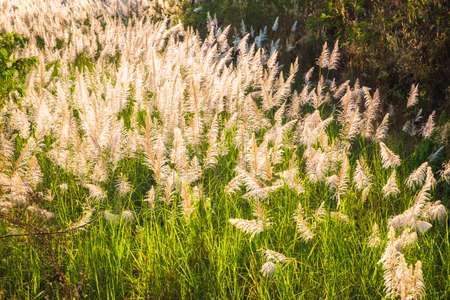White reed blooming on the down hill in the evening sunlight, countryside in winter of Thailand