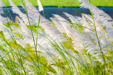 Closeup white reed on the river bank blowing in the wind in countryside