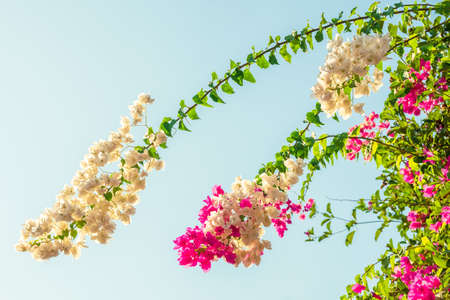 Bougainvillea treetop, white and pink Bougainvillea blooming in the garden Stock Photo