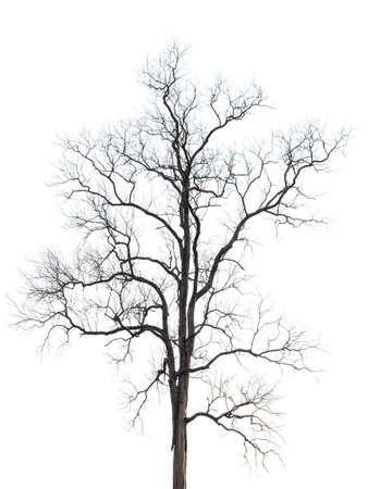 Leafless dry tree isolated on white background