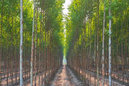 Row of Eucalyptus trees in the farm, countryside of Thailand
