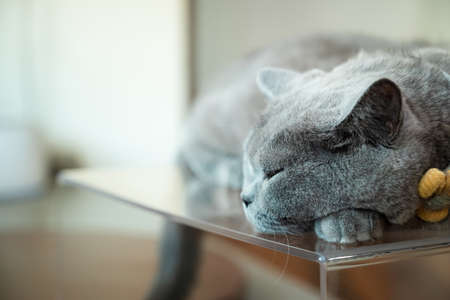British shorthair cat sleeping on the table at house in the afternoon 版權商用圖片