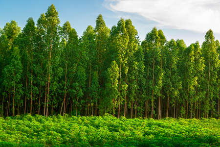 Eucalyptus forest growing in the farm, countryside of Thailand 写真素材