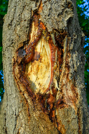 Closeup cracked trunk of old tree in the woodland show the bark and inner section with sticky resin