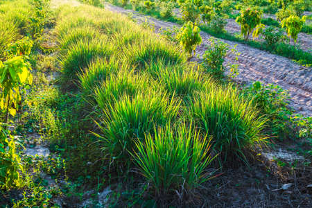 Cymbopogon or lemongrass clump in a mixed agriculture farm