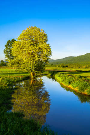 Yellow tree and canal full of water in the rice field, beautiful contryside in cultivated time and coming of rainy season, Thailand 写真素材