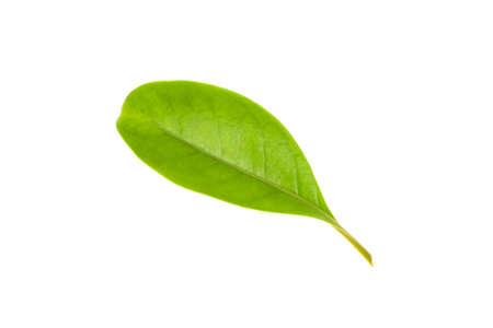 Leaf and stalk of Gia, Lau binh, or Perfume flower tree, isolated on white bacground, Fagraea ceilanica Thunb. science name 写真素材