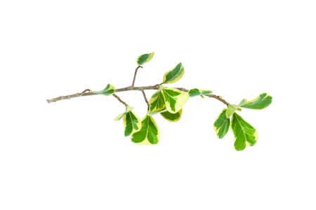 Leaves and stalk of Mistletoe Fig, isolated on white bacground 写真素材