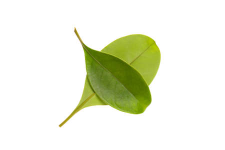 Leaves and stalk of Gia, Lau binh, or Perfume flower tree, isolated on white bacground, Fagraea ceilanica Thunb. science name