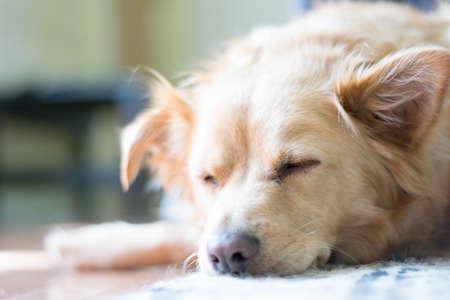 retreiver: Sleeping Puppy