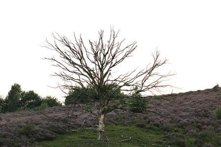 Posbank 国立公園、オランダのツリーと紫ピンク ヘザーに咲く 写真素材