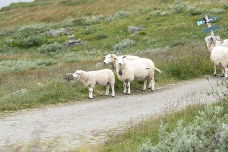 ノルウェーの風景羊
