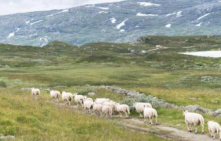 夏の山とノルウェーの羊と風景します。