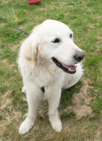 草の上に座っている笑顔の犬 写真素材