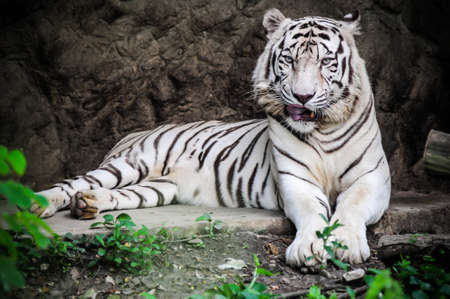 Thailand, Bangkok, Bangkok zoo, white Bengal tiger (Panthera tigris) photo