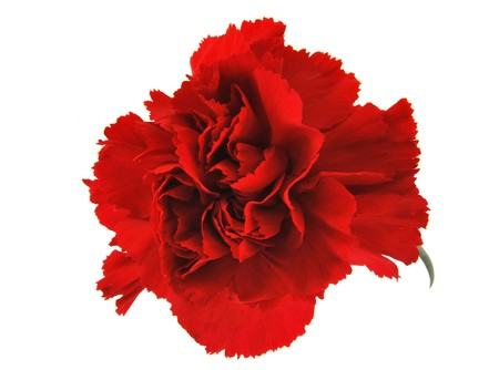 Red carnation flower isolated on white