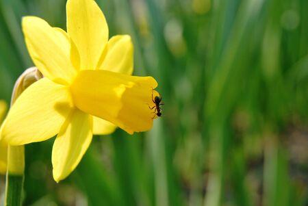 ant on yellow petal photo