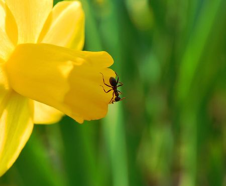 ant on yellow petal Stock Photo - 4666859