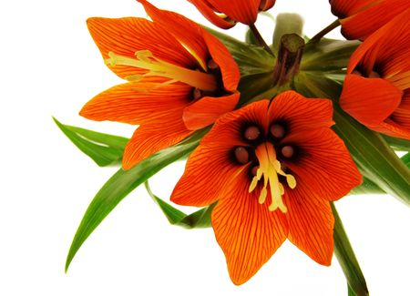 Crown imperial red flowers Banco de Imagens