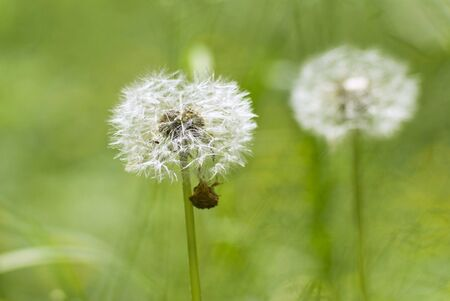 White dandelion on a green background