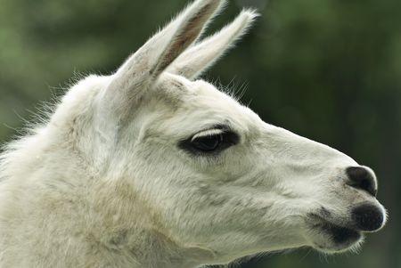 One llama.White animal on natural background  photo