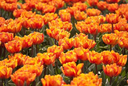 flowerbed of tulips photo