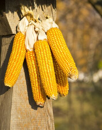 corn on the cob at the village court Stock Photo - 11173056