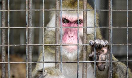 chimpansee: aap in een kooi met droevige ogen