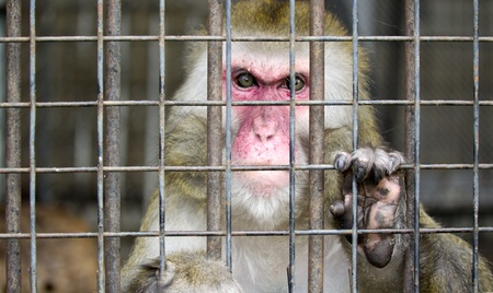 cage gorilla: monkey in a cage with sad eyes