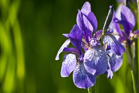 iris flower on a green background photo