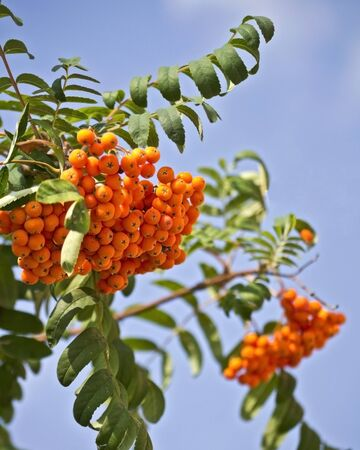 mountain ash on a background of blue sky photo