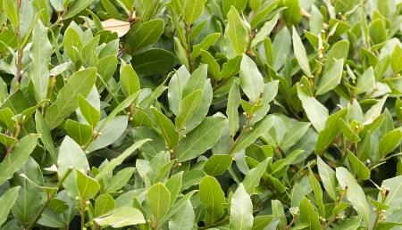 Laurel bush hedge growing in a spring garden