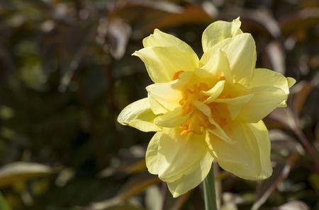 Narcissus flower in the garden in the garden.