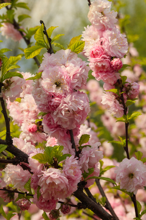 Flowers of Japanese cherry in the garden
